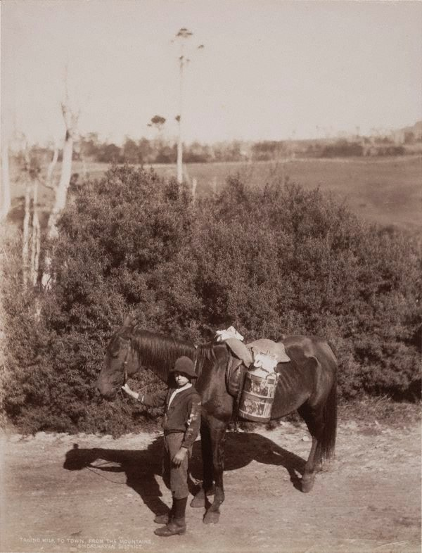 An image of Taking milk to town from the mountains Shoalhaven District