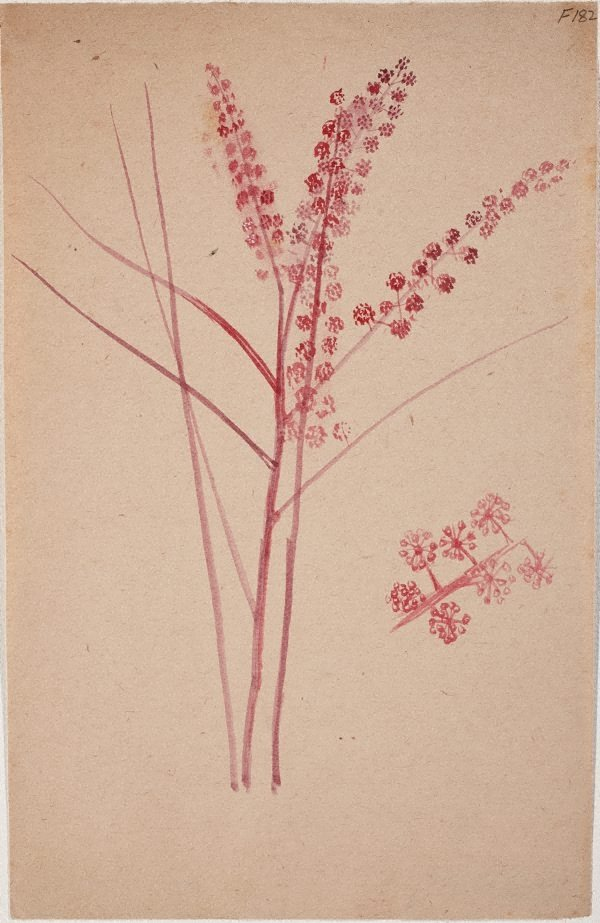 An image of (Plant study) (Late Sydney Period)