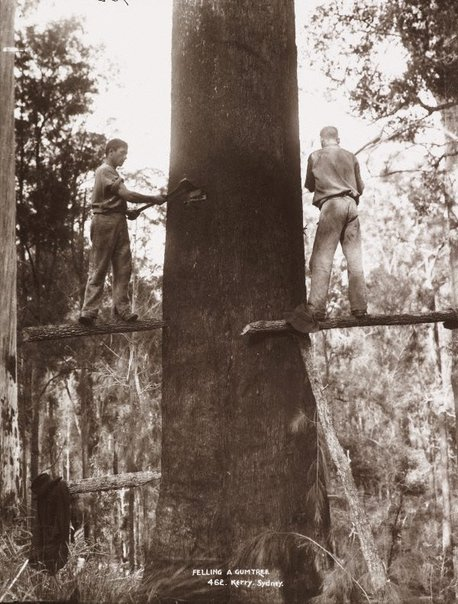 An image of Felling a gumtree by Unknown, Kerry & Co