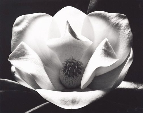 An image of The magnolia by Max Dupain