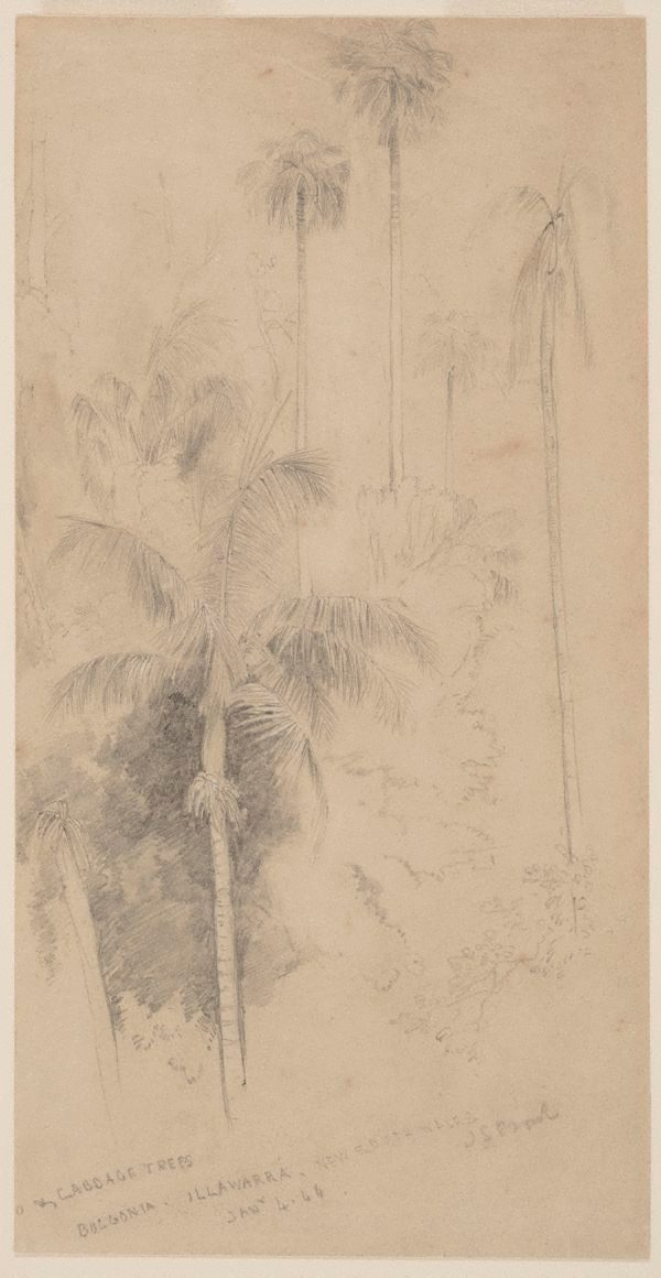 An image of Cabbage trees, Bulgonia, Illawarra, New South Wales