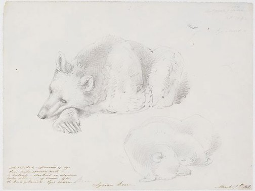 An image of Syrian Bear by William Strutt