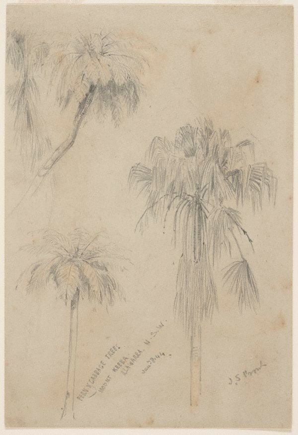 An image of Fern and Cabbage trees, Mount Keira, Illawarra, New South Wales