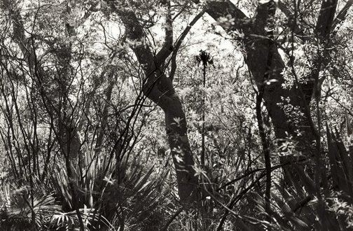 An image of Untitled (Bush and Angophoras) by Brian Thompson