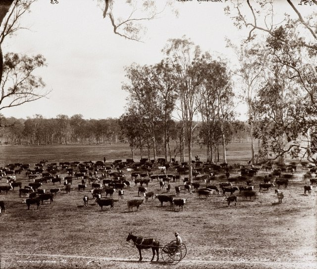 An image of Mustering cattle