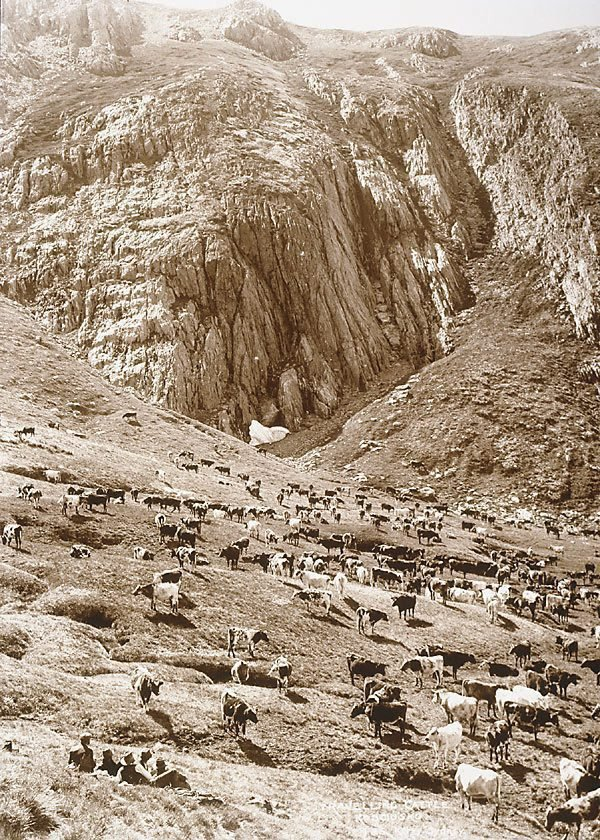 An image of Travelling cattle, Kosciusko