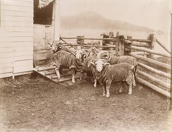 An image of Prize rams, Burrawong Station New South Wales