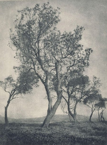An image of Banksias by Max Dupain