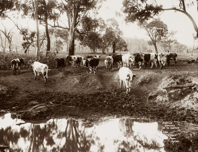 An image of Cattle coming into water