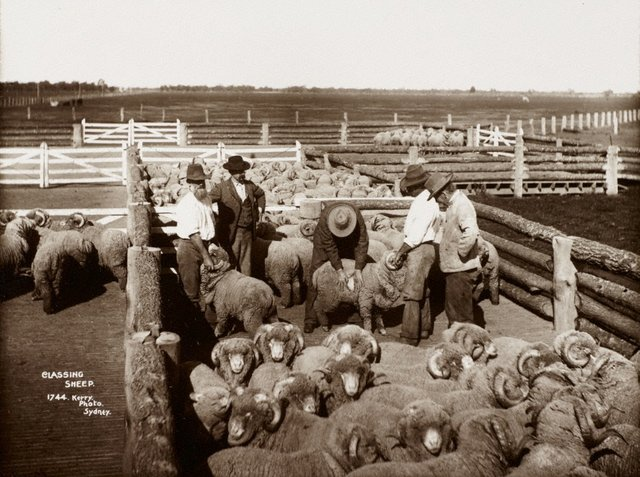 An image of Classing sheep