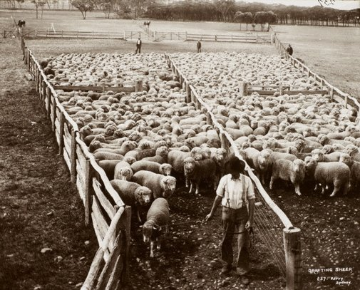 An image of Drafting sheep by Unknown, Kerry & Co