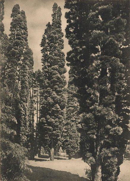 An image of Callitris columellaris by Harold Cazneaux