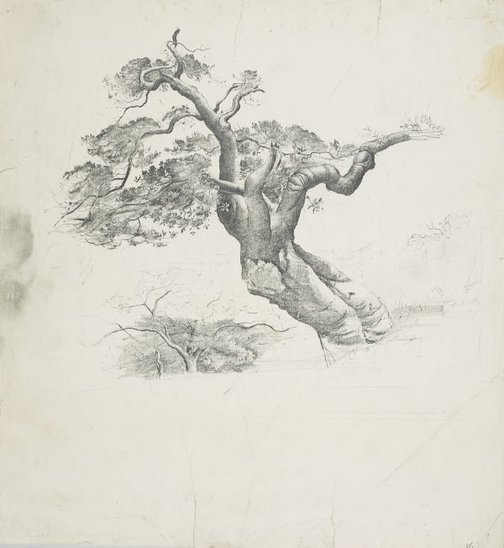 An image of Port Jackson fig tree by Lloyd Rees