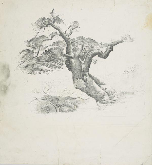 An image of Port Jackson fig tree