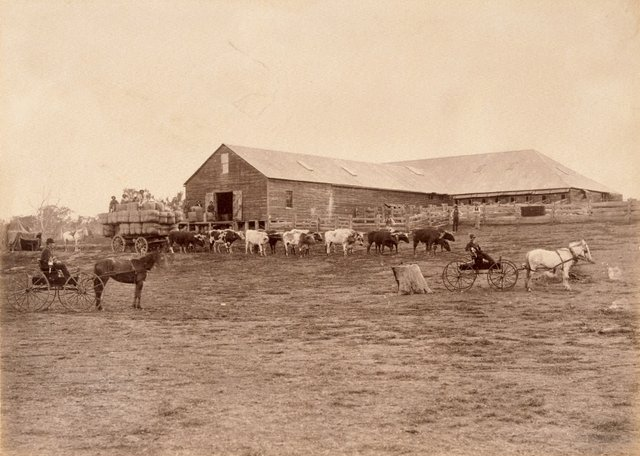 An image of Bullock team and cart laden with wool bales in front of shearing shed