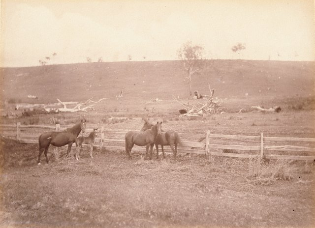 An image of Horses in a paddock