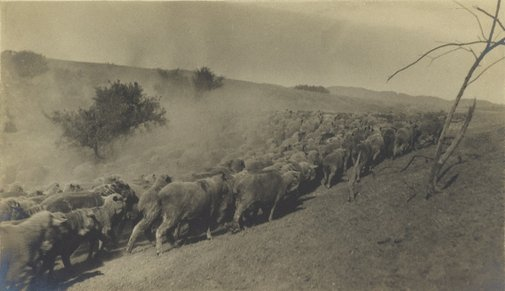 An image of Sheep coming from water. Drought stricken far north South Australia by Frederick A Joyner