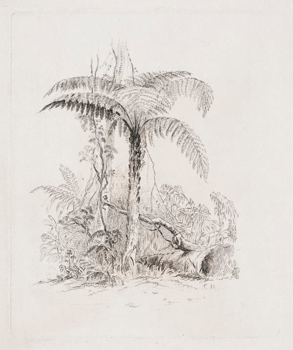 An image of Study of a tree fern
