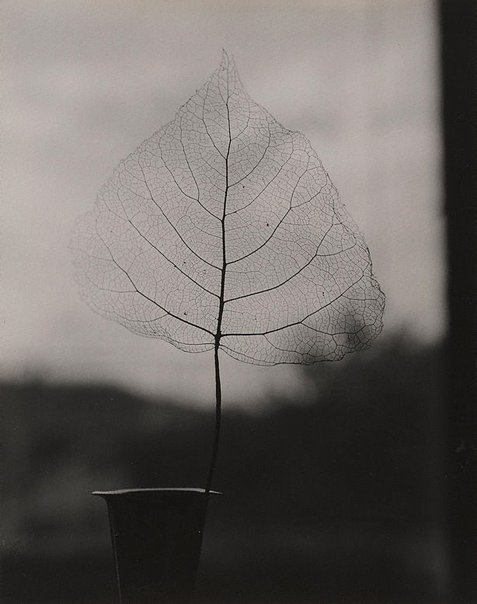 An image of Skeleton leaf by Olive Cotton