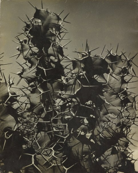 An image of Cactus by Hans Hasenpflug