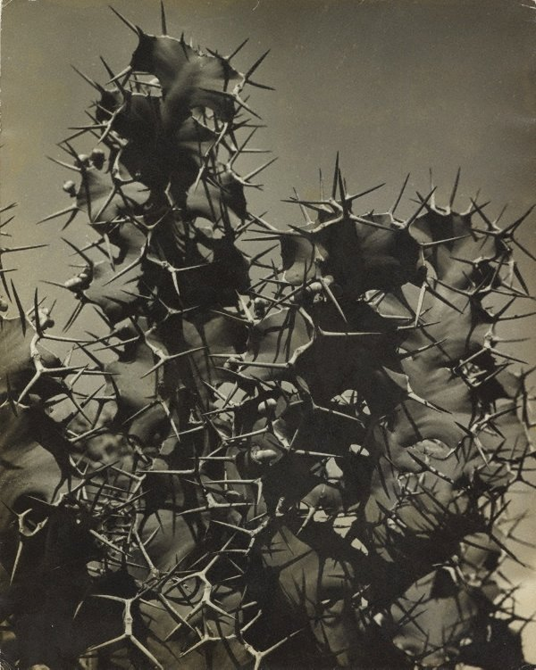 An image of Cactus