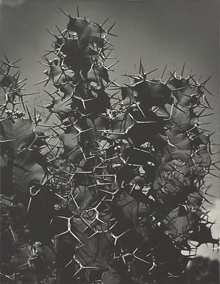 An image of Cactus by Hans Hasenpflug