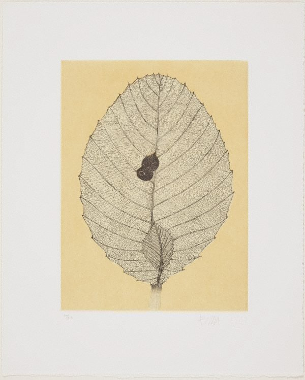 An image of Shrubby Dillenia leaf and wasps nest
