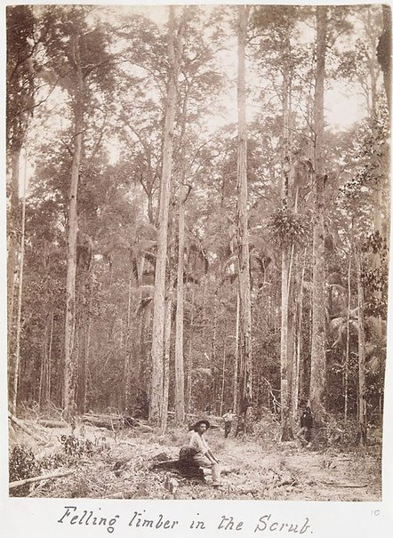 An image of Felling timber in the scrub by Unknown