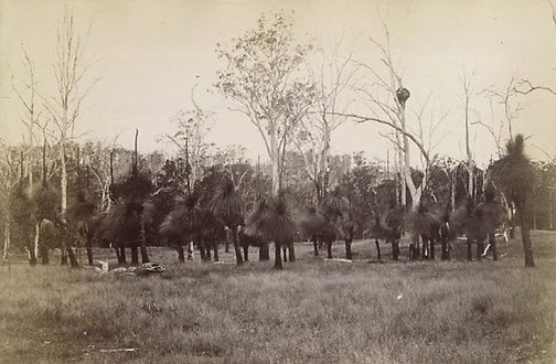 An image of Grass-trees by William Livermore, Star Photo Co