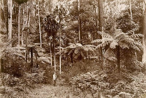 An image of Tree ferns, Katoomba by William Livermore, Star Photo Co