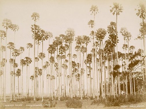 An image of Australian cabbage-palms (Livistona australis) by Unknown, Kerry & Co