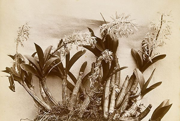 An image of A native orchid (Dendrobium speciosum)