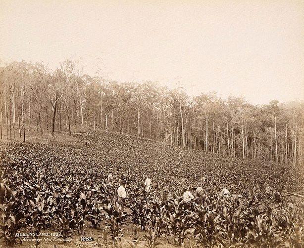 An image of Arrowroot field