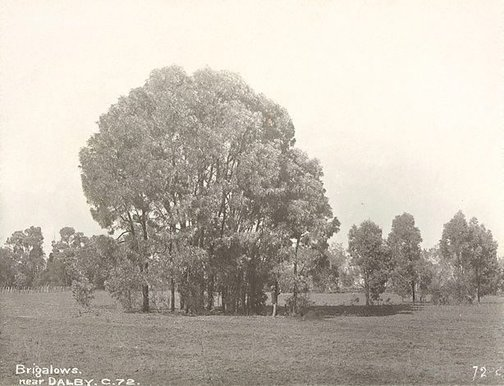 An image of Brigalows (Acacia sp.) by Unknown