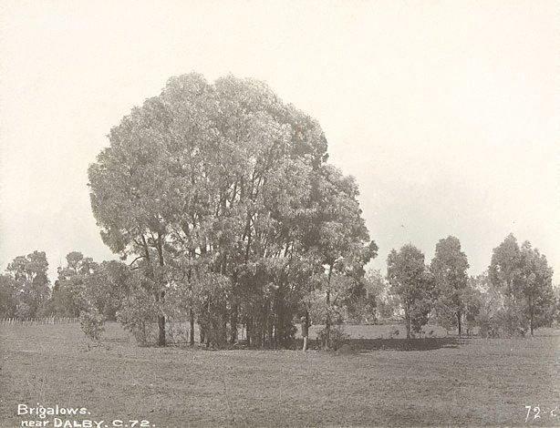 An image of Brigalows (Acacia sp.)