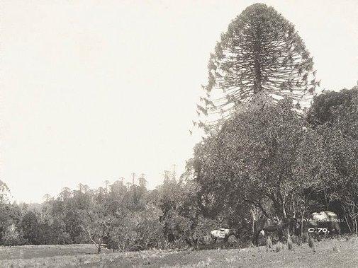 An image of Bunya-bunya pines (Araucaria bidwillii) by Unknown