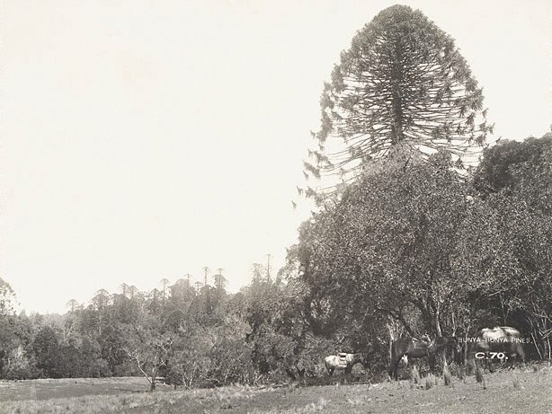 An image of Bunya-bunya pines (Araucaria bidwillii)