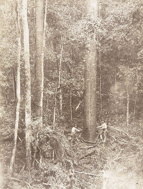 An image of Cutting the hoop-pine by Unknown