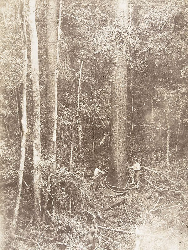 An image of Cutting the hoop-pine