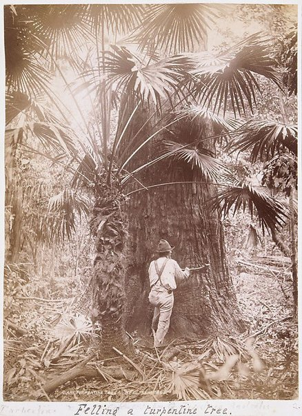 An image of A Bangalow Palm by Unknown