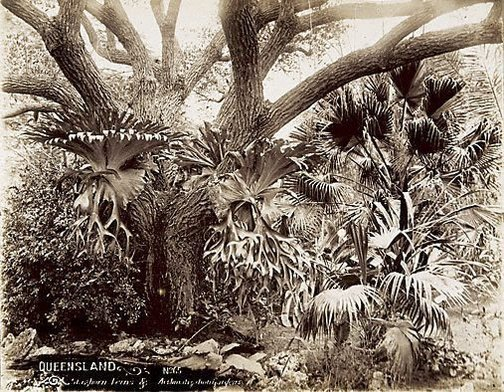 An image of Staghorn ferns by Unknown