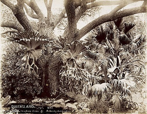 An image of Staghorn ferns
