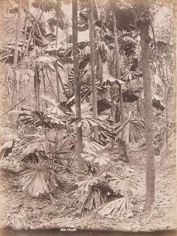 An image of A fan palm (Licuala ramsayi)