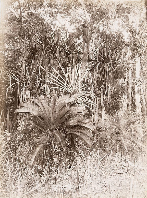 An image of Cycads and pandanus