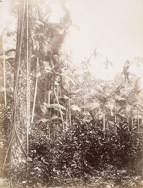 An image of Laccoshadix australasia