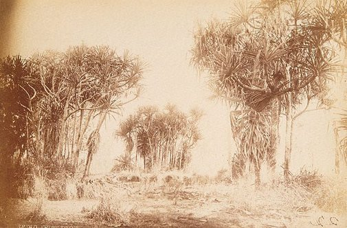 An image of Pandanus by Unknown