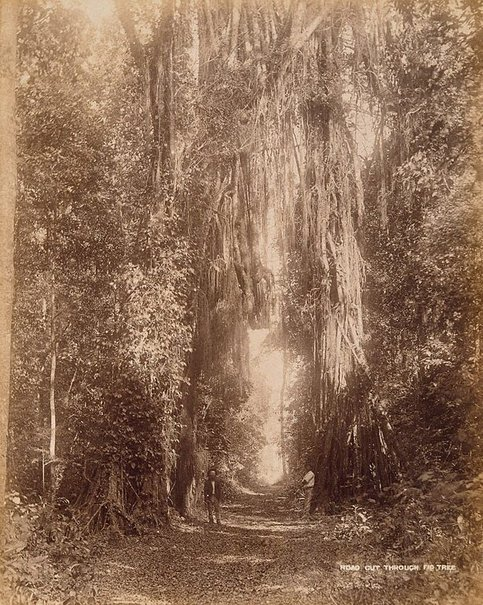An image of Road cut through a fig tree by Unknown