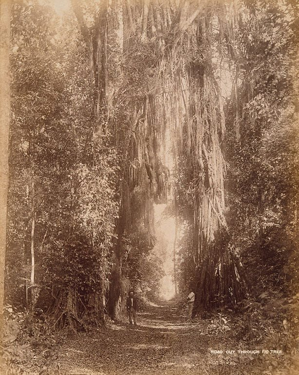 An image of Road cut through a fig tree