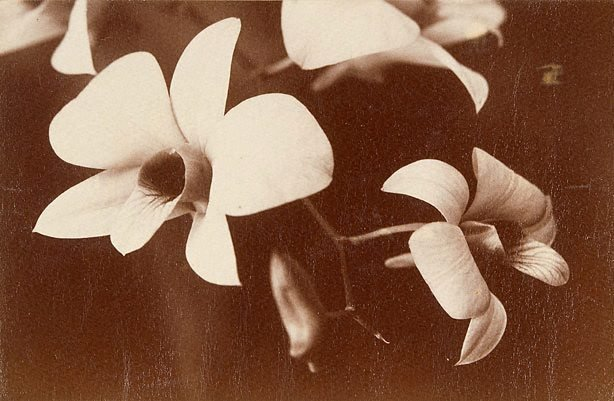 An image of A Queensland orchid. Dendrobium phalaenopsis