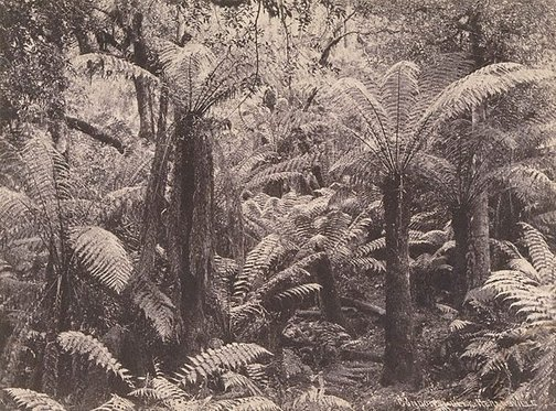 An image of Tree-ferns by Unknown
